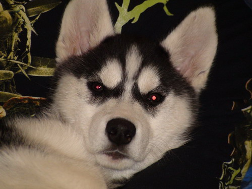 black metal dog