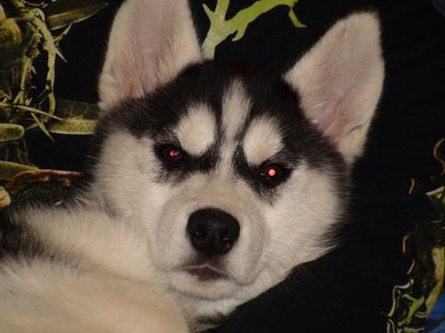 black metal dog
